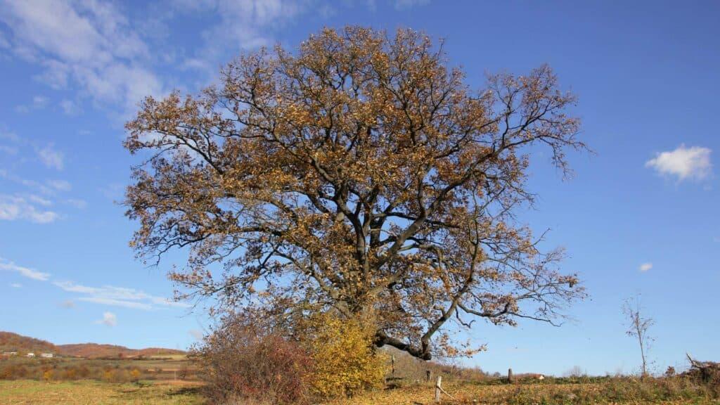 Vom Baum zum Holztisch - Quercus cerris